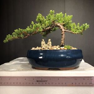 Japanese Juniper, traditional bonsai, 7years old