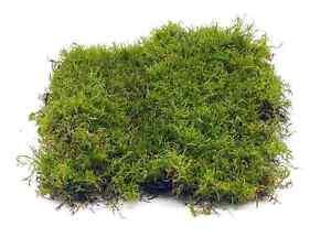Live Carpet Moss for Terrariums | Flat Moss