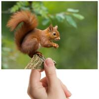 "Red Squirrel Forest Nature Small Photograph 6"" x 4"" Art Print Photo Gift #15680"