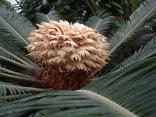 Cycas  Revoluta - Sago palm, 100 seeds, Bulk pkt
