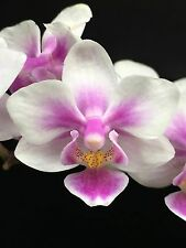 PHALAENOPSIS BROTHER SPRING DANCER ORCHID PHAL PREVIOUSLY BLOOMED