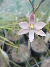 Thelymitra luteocilium, Australian deciduous terrestrial orchid hybrid - 1 tuber
