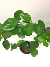 Hoya Pflanzen, Zimmerpflanzen