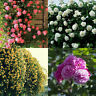 Fragrant Blooms 4kinds Colourful variety mix climbing Rose Flower seed 100 seeds