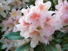 Rhododendron Cunningham's Blush - #2 Container Plant - Hardy to -10