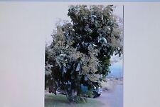 5 Semillas Madera teca árbol, Tectona grandis, teca, Madera Exótica#365