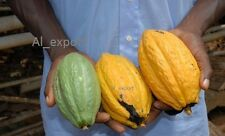 01 Whole Cocoa pod -Theobroma cacao -EXOTIC TROPICAL FRESH viable seeds