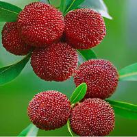 40pcs Myrica Rubra - Seeds - Yum Berry Chinese Red Bayberry  Yangmei L4G7