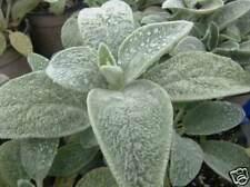 Stachys Byzantina - 100 Seeds - Lambs Ear Fuzzy Leaves!