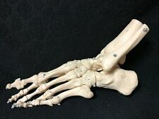 SOMSO Skeleton Model of the Foot and Ankle (Elastic Mounting) QS23 Anatomical
