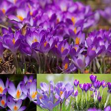 20 Pcs Saffron Crocus Seeds Bonsai Plant Tree House Herb Garden Flower Pot Decor