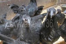 10+ Svart Hona (Swedish Black Hen) Fertile Hatching Eggs World's Rarest Chicken!
