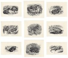 Amphibian,Prints,Salamand er,Natterjack,Jg Wood,Antique,Mixed,Indivi dual,1863