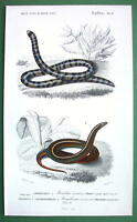 AMPHIBIA Reptiles Coral Snake Homalosoma - ORBIGNY  Hand Color Antique Print