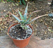 Beautiful Aloe Cultivar Confused Hybrid Succulent Colorful Kelly Griffin Hybrid