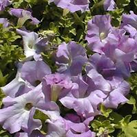 50 Pelleted Supercascade Lilac Petunia Seeds