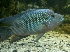 "X2 JACK DEMPSEY CICHLID - LARGE 4"" - 5"" -EACH PACKAGE - FREE SHIPPING"