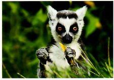 Tarjeta postal: katta pueblerinos una hoja, Madagascar, lémur