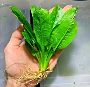 BUY 2 GET 1 FREE Echinodorus Rosette Sword Amazon Plant Live Aquarium Plants ✅