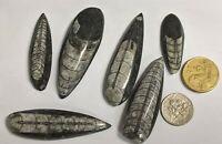Six Savage Little ORTHOCERAS Fossil COLLECTION From Morocco Lot (#L6235)