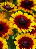 Rudbeckia Seeds To To Rustice 50 Seeds  Perennial