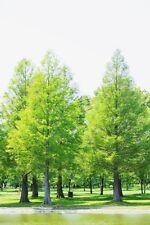 50pcs Metasequoia Glyptostroboides Seeds Bonsai Tree Grove Easy Fast Grow