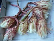 1 Plant ~ Epiphyllum oxypetallum- Orchid Cactus(昙花)