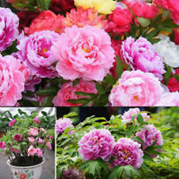 KQ_ 50Pcs Mixed Color Double Peony Seeds Plant Balcony Garden Bonsai Flower Deco