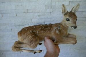 OLD LOVELY PREMIUM *BABY DEER FAWN* TAXIDERMY COLLECTORS, about 1970