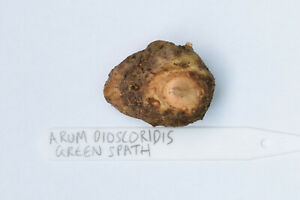 Arum dioscoridis Green/yellow Spath Amorphophallus Arisaema Aroid Rare