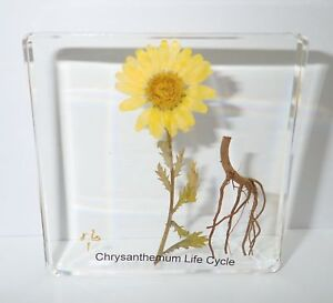 Yellow Daisy Chrysanthemum Flower 3 Stage Life Cycle Simplified Set Learning Aid