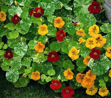 NASTURTIUM Mixed ORGANIC SEED Leaves/flowers edible for salads. Sow all season.