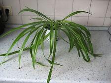 Gr nlilien zimmerpflanzen g nstig kaufen ebay - Rankenpflanze zimmer ...