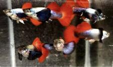 1 Trio High Quality Redtail Platinum Dumbo/Big Ear Live Guppies