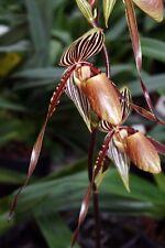 Paphiopedilum philippinense x gardineri, Pflanze, Frauenschuh, Orchidee