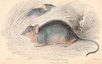 C1833 Mano Colorato Georgiano Stampa ~Phascogale Flavipes~ Nuovo South Galles