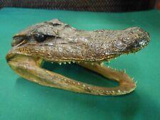 Great Collectible ALLIGATOR Taxidermy Gator Skull Head....FREE POSTAGE USA