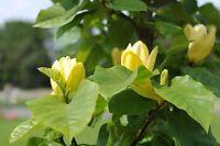 ++So schönen kann ein Tulpenbaum blühen - Baum Saatgut winterhart Hausgarten.