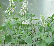 katzenminze Nepeta cataria Heilpflanze PLANTE AROMATIQUE 50 graines HERBES