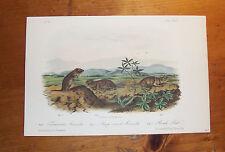 Audubon. Quadrupeds. Octavo. Arvicola and Rat.