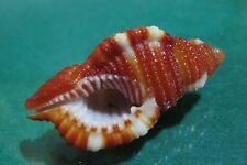 Cymatium Rubeculum 40.7mm GEM,beautiful pattern & intense bloody coloration w