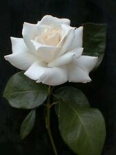 5 WHITE ROSE Rosa Bush Shrub Perennial Flower Seeds + Gift & Comb S/H