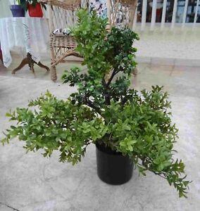 Dieser attraktive Bonsai Teeblatt 50cm.hoch