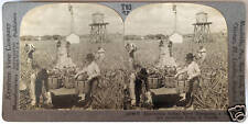 Keystone Stereoview of Harvesting Pineapples in FLORIDA FL from 1930's T600 Set