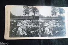 STA833 Scene de genre Fleurs Iris bouquet champ albumen Photo stereoview 1900