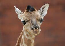 A1 Cute Baby Giraffe Poster Art Print 60 x 90cm 180gsm Safari Animal Gift #15131