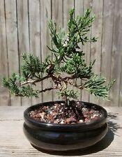 Parsoni juniper Bonsai Tree in 6 inch oval black pot. Wired into shape