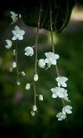 Chiloschista extinctoriformis White miniature orchid PHYTO certificate