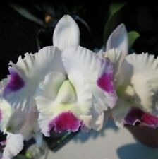 """(24m) Lc Pink Spice """"Kitty"""" Fragrant mature size"""