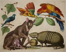 Albertus Seba - Thesaurus 1734 - Opossum, Gürteltier, Papageien -Altkolorit -Rar
